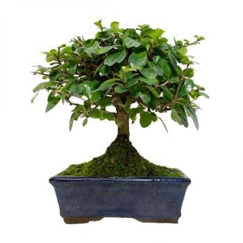 Carmona microphylla bonsái...