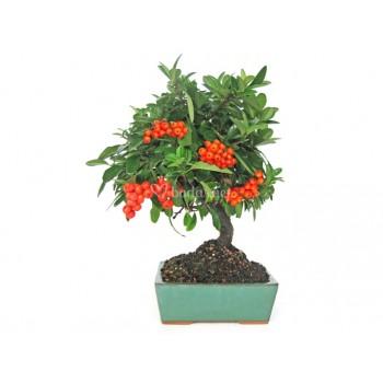 Bonsái pyracantha bonsái de...