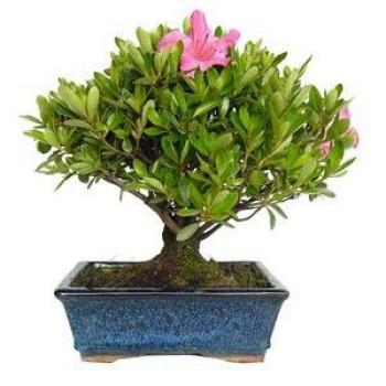 Bonsái rhododendron Bonsái...