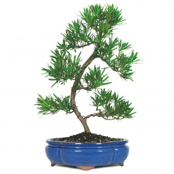 Bonsái podocarpus bonsái...